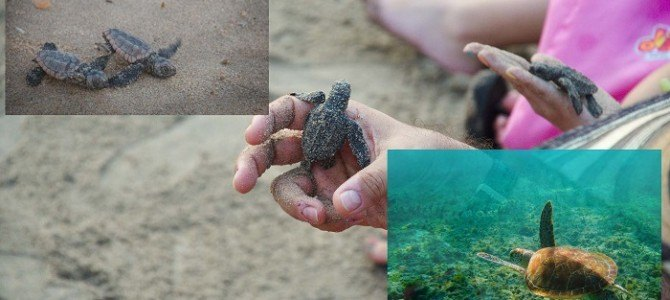 Puerto Vallarta Baby Turtles