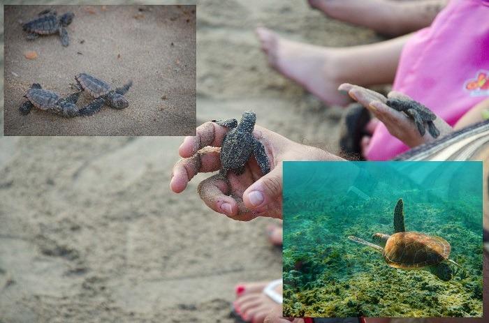 Puerto Vallarta Baby Turtles