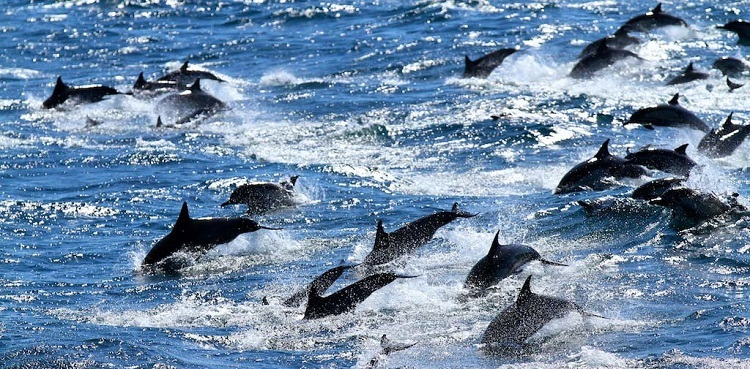 Dolphins at Sea of Cortez Sanctuary